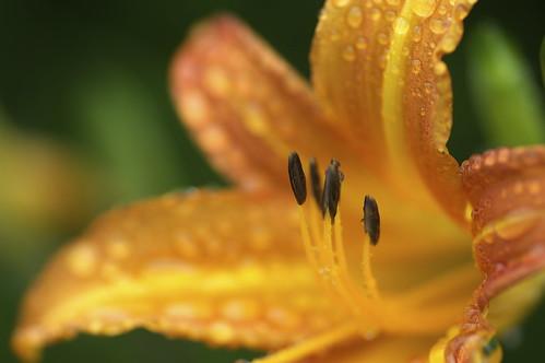 Lily, Orange, Drop.