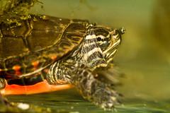 Meet Bob, aka Dartanian....balancing a bubble on his nose! (thruthelookingglass) Tags: turtle smiles bob tiny talented dartanian wellheckcanyoubalanceabubbleonyournose