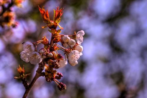 Blossom HDR