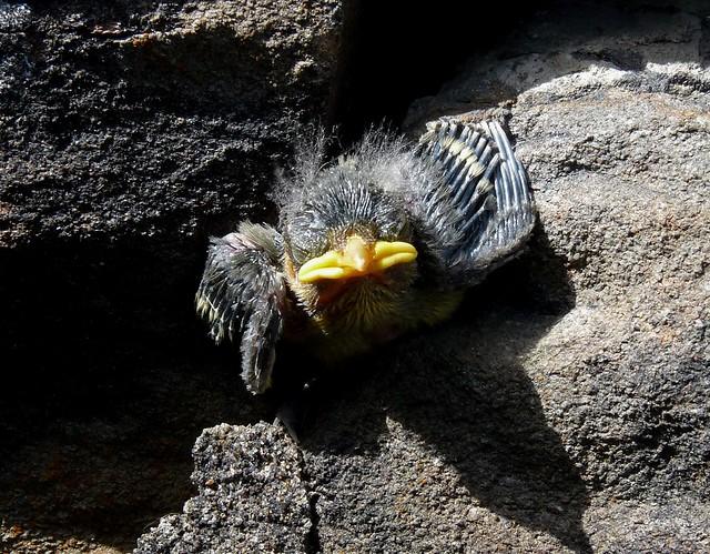 24358 - Blue Tit fledgling, Lliw Reservoirs