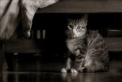 a cat under… / un gat sota… / un gato debajo… (Ferran.) Tags: bw cats pets home cat catalonia gato catalunya gat pyrenees ripolles gats queralbs bwart
