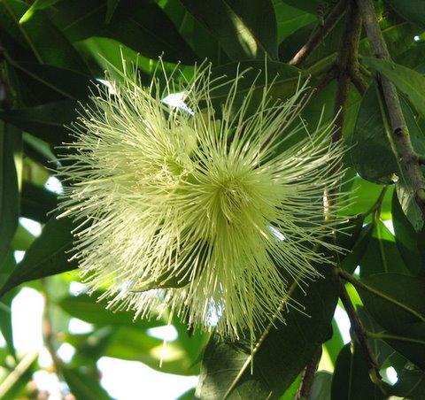 lichi flowers? help...