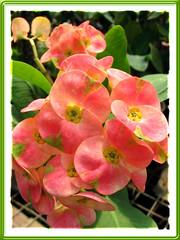 Euphorbia milii 'Salmon'