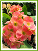 Euphorbia milii 'Salmon' (Crown of Thorns)
