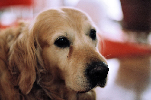 Golden dog portrait
