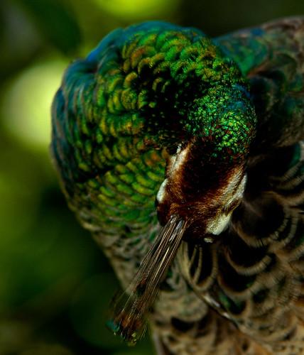 Curled Peacock (DSC_5945) by Fadzly @ Shutterhack.