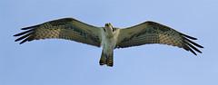 Osprey flight (Gitart) Tags: blue sky brown white black nature grey feathers osprey birdofprey birdwatcher naturesfinest anawesomeshot superbmasterpiece naturewatcher