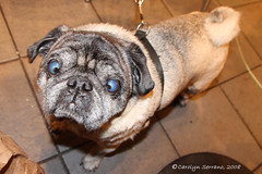 Project 366 - 2008 006/366 (CarolynSerrano) Tags: dog crosseyed january pug pooch 2008 leapyear daysix 366 photographicjournal project366 006366 2008yip project36620086366