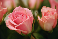 pink roses from Dan