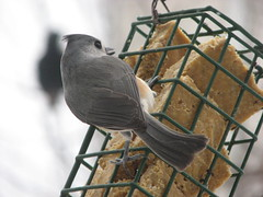 Titmice are so sweet, I would eat one on a cracker