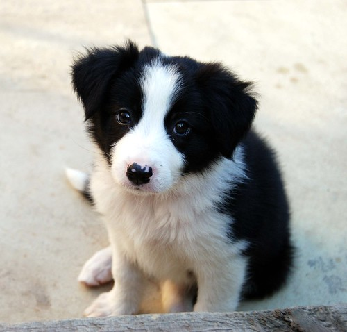 border collie puppies. Jess, our order collie puppy