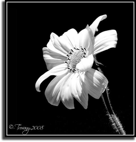 flor_blancoynero