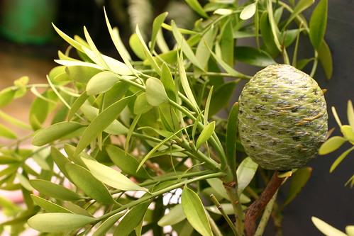 Agathis macrophylla 2263280291_70e6f50fca