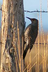 Flicker on Flickr II (mstrwhew) Tags: nature birds utah wildlife country woodpeckers flicker eveninglight goshen wildbirds blueribbonwinner pentaxistdl