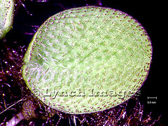 Salvinia minima LF1b (L) (Lynch Images) Tags: fern waxy hairs salvinia pteridophyta waterfern trichomes pterophyta salviniales karibaweed