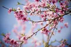 Spring flowers (ZekaG) Tags: pink flower canon cherry blossoms bluesky