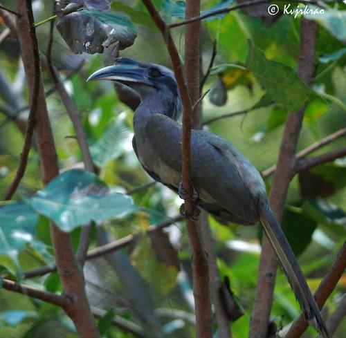 videos of grey hornbill parrot youtube