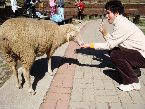 mom and sheep