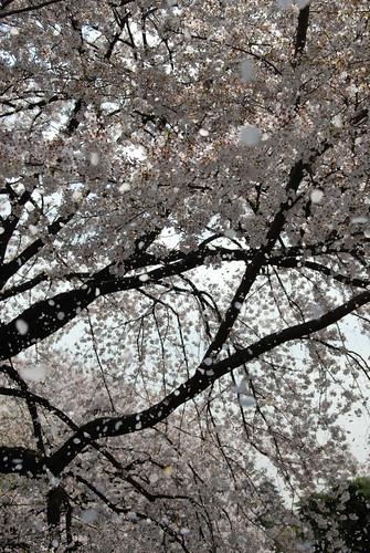 新宿御院賞櫻