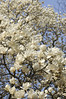 Yulan Magnolia, Yoyogi Park