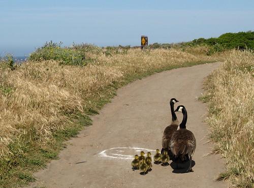 Canada Geese, goslings