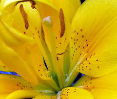 Yellow Lily (ToJoLa) Tags: macro yellow canon lily 101 geel aaa lelie canong7 aplusphoto colourartaward platinumheartaward