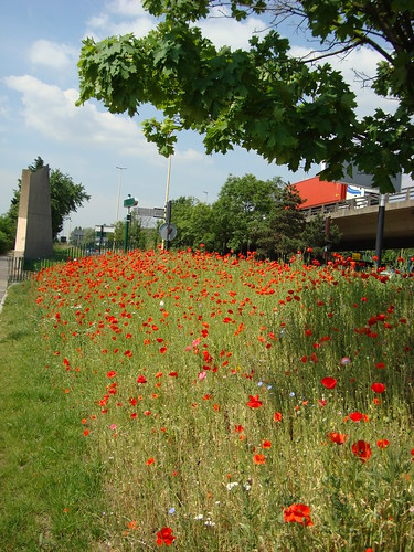Poppies under the highway-27
