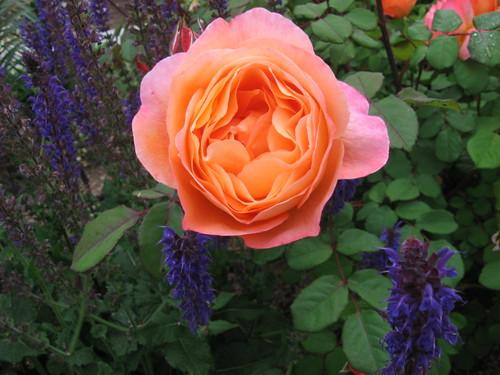 rose vignettes 001