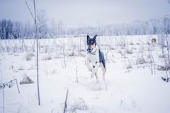 DSC_0088 (danielahelmi) Tags: collie smooth rough winter field play run snow frost frozen tricolor sable smoothie nikon d700 puppy dog