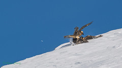 02-0513 (fix.68) Tags: bagare gypaètebarbu oiseau