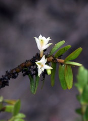 Dendrobium pahangense (Orchidaceae)