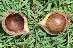 Macadamia integrifolia (Macadamia Nut) - culti...