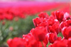 Bread feeds the body, indeed, but flowers feed the soul....(Explore) ('Carmen') Tags: red canon dof tulips bokeh depthoffield explore skagitvalleytulipfestival tulipfestival redtulips seeingred shootingintothesun asfarastheeyecansee sooc mtvernonwashington eos50d laconnerwashington colouroverdose tulipsinthesunshine aseaoftulips flowersfeedthesoul ariverofflowers