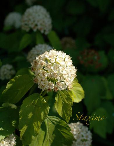 Arbusto Fiorito