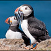 Puffin with sandeels 1