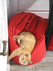 Ginger (TELPortfolio) Tags: newzealand cat ginger wellington newtown 10millionphotos jalalspagesanimalkingdom
