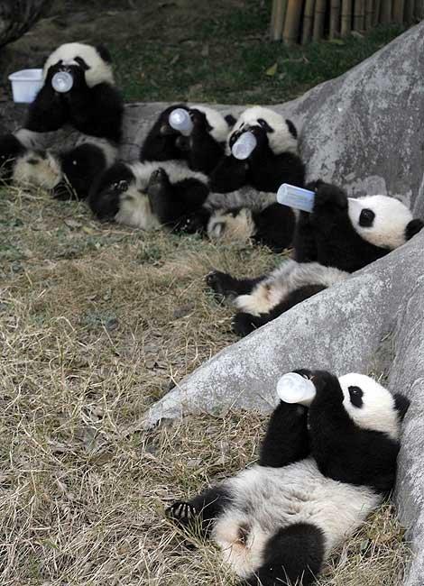 Panda Milking