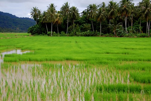 paddy field balik pulau penang