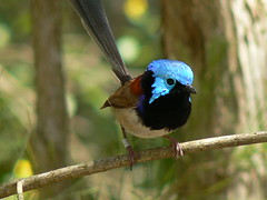 Variegated Fairy-Wren (ianmichaelthomas) Tags: friends birds australia healesville victoria wrens birdwatcher smorgasbord variegatedfairywren supershot fairywrens animaladdiction goldenmix australiannativebirds avisittothezoo abigfave theexhibit wildlifeofaustralia animalcraze worldofanimals auselite naturewatcher overtheexcellence colourartaward wonderfulworldmix healesvillesanctaury fairywrens itsazoooutthere qualitypixels llovemypics flickrlovers vosplusbellesphotos