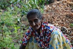DSC_0193 (mwfeedback) Tags: white tea plantation handunugoda