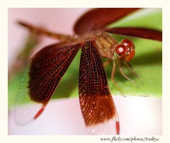 Beautiful Guest (Araleya) Tags: life home nature animals garden insect thailand interestingness nikon dragonfly explorer guest visitor frontyard secretgarden nonthaburi beautifullife supershot araleya interestingness236 i500 mywinners impressedbeauty theperfectphotographer excapturemacro