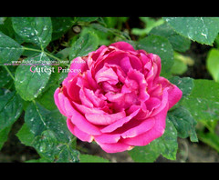 MY love is PINK ^_^ (CUTEST PRINCESS) Tags: pink flower green love rose princess cutest qatar