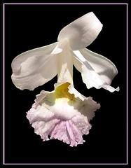 Sobralia veitchii (Linda DV) Tags: orchid flower blackbackground de geotagged belgium arboretum linda orchidaceae 2007 meise sobralia onblack jardinbotanique sobraliaveitchii plantentuin nationalbotanicgardenofbelgium volder meiseplantentuin nationaleplantentuinmeise lindadevolder