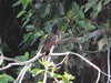 Another hoatzin