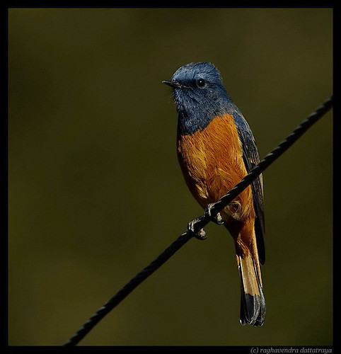 Blue Fronted Redstart