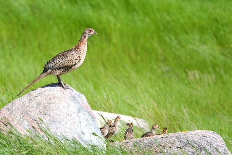 pheasantfemale.jpg