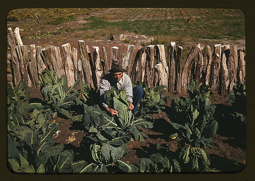Mr. Leatherman,  homesteader,  tying up cauliflower,  Pie Town,  New Mexico (LOC)