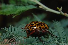 scarab1 (jmw975) Tags: nature beetle australia scarab coleoptera scarabaeidae flowerchafer polystigma dartmouthreservoir taxonomy:binomial=polystigmapunctatum