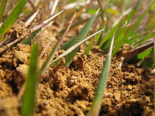 Fire ants near Grand Bay, Alabama, USA