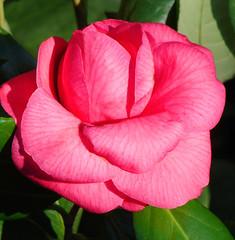 Deep Pink Camelia (Bama4) Tags: pink petals camilia deeppink roselike pinkalicious theboldflower